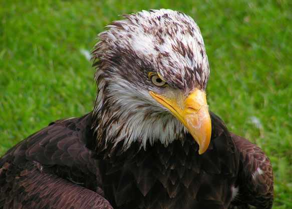 снится орел