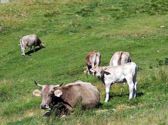 снится стадо коров