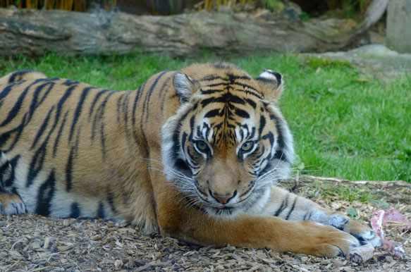 Видеть тигра во сне