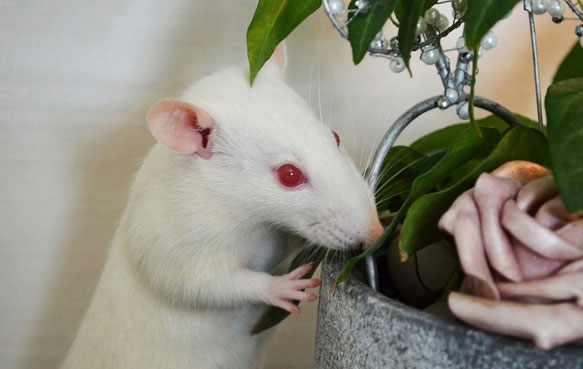 снится белая крыса