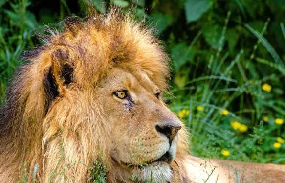 Лев во сне