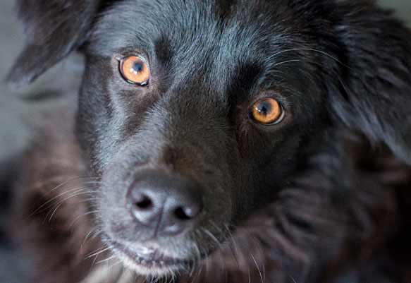 черная собака снится