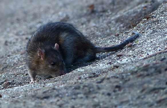 снится крыса черная
