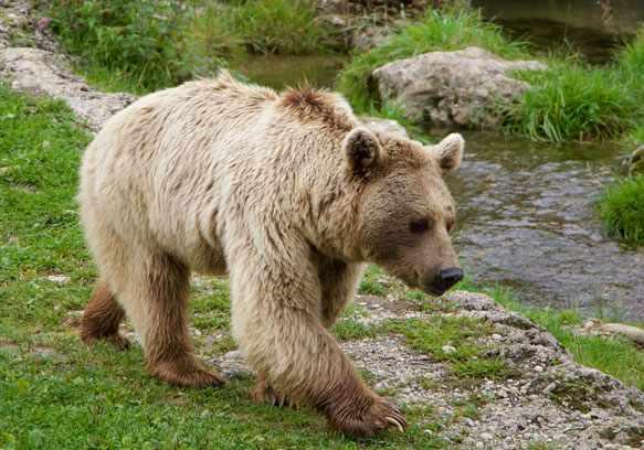 к чему снится медведь женщине