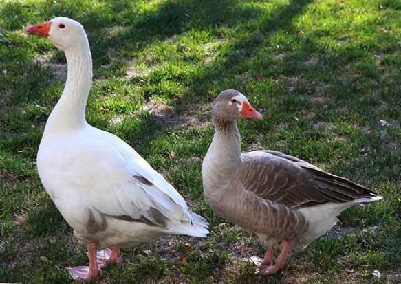 Видеть гусей во снах