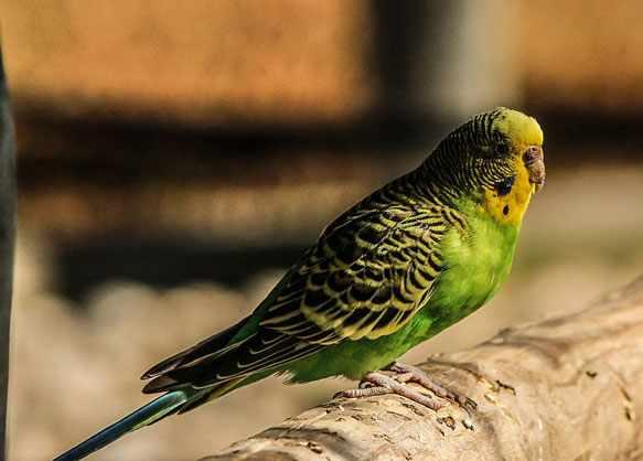 снится волнистый попугай