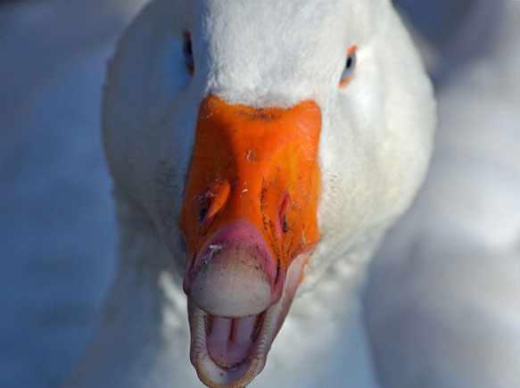 снятся во сне белые гуси