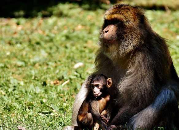 Видеть во сне обезьяну