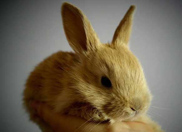 снится кролик