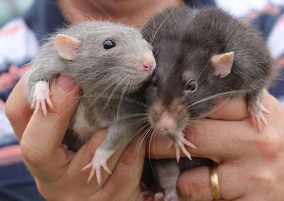 снится крыса серая