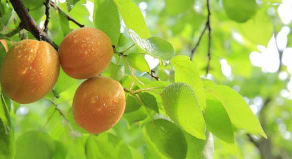 снится абрикос