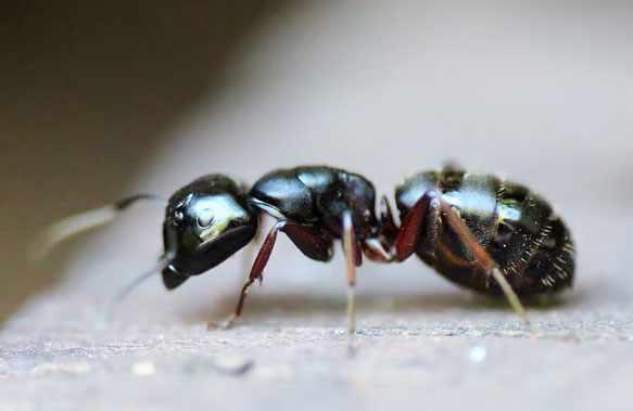 снится муравей
