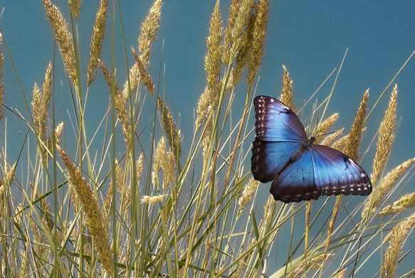 снится бабочка