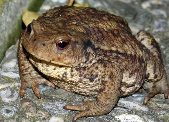 снится жаба